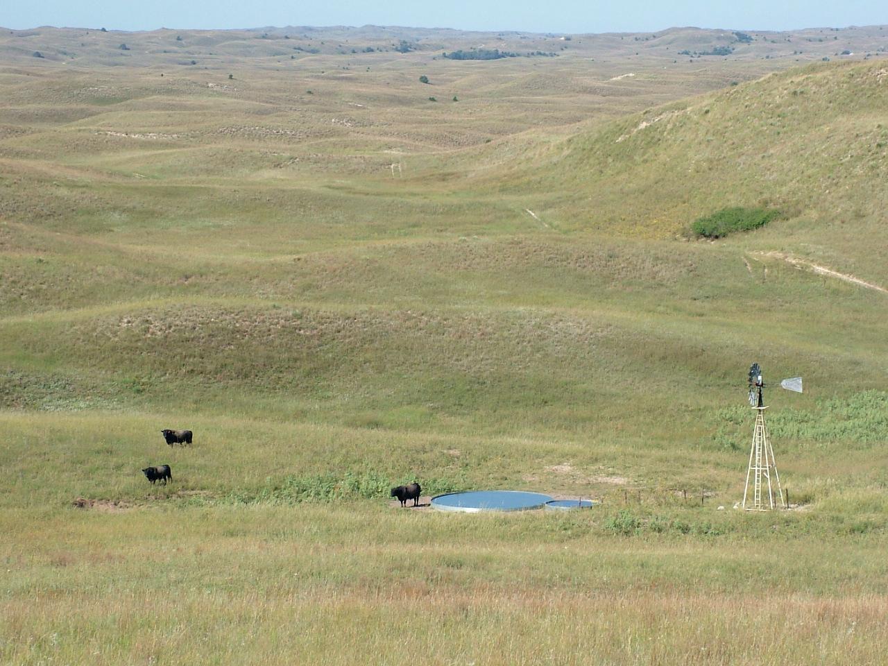 Bulls among the hills